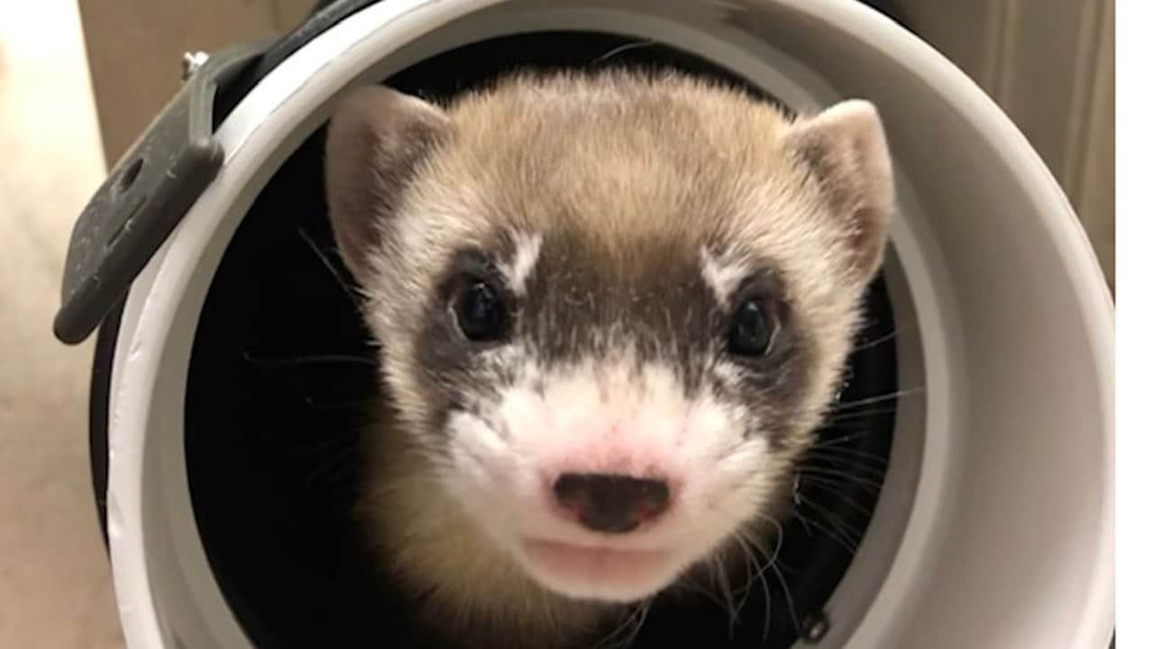 First black-footed ferret cloned in an attempt to revive the endangered species